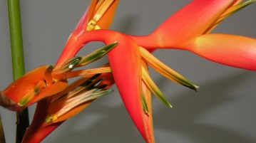 Saturated, Heliconia