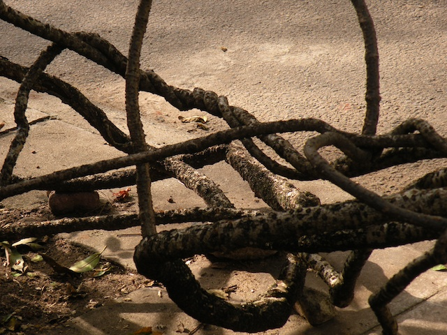 Aerial Gardens & Visible Roots - Twisty Vine, Alfred House Gardens 3