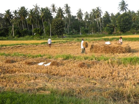 Harvest Time and the Maalu Man 23