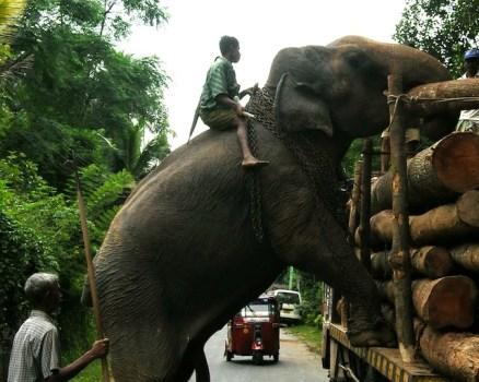 Masterclass in elephant handling ...