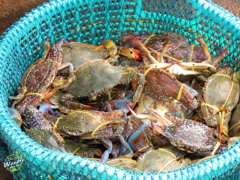 Newly caught crabs at the fisherman's village of Ham Ninh