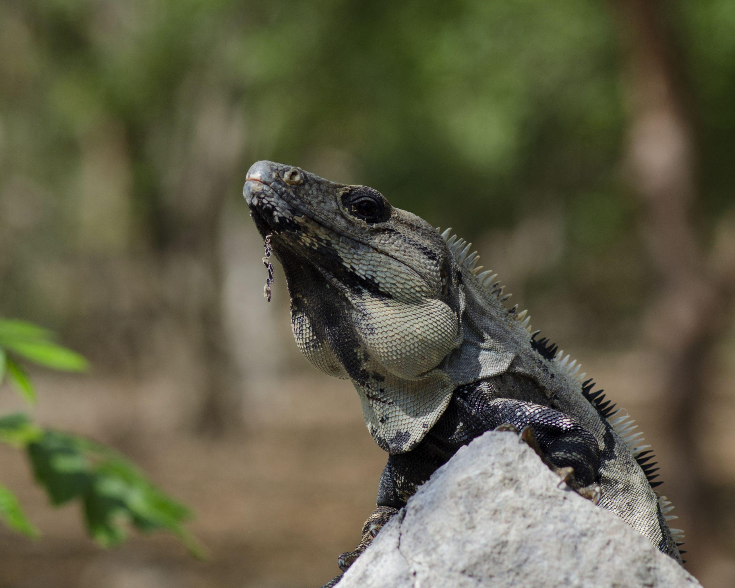 Wild Iguana Uxmal