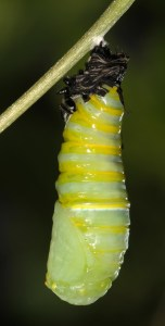 Monarch Changing to Chrysalis 5