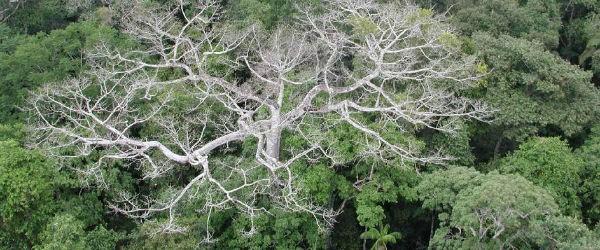 Las selvas tropicales del sur y el oeste de la Amazonia puede estar mostrando los primeros signos de potencial a gran escala de la degradación debido al cambio climático como la selva amazónica sigue sufriendo los efectos de una megasequía que comenzó en 2005, atribuido al calentamiento a largo plazo de la zona tropical del Atlántico temperaturas de la superficie del mar.  Durante el verano de 2005, más de 700.000 kilómetros cuadrados o 70 millones de hectáreas (270.000 millas cuadradas) de bosque maduro en el suroeste de la Amazonia experimentó una sequía extensa y severa que causó cambios generalizados en el dosel del bosque que son detectables por satélite.  Los cambios sugieren muerte regresiva de ramas y caídas de árboles, sobre todo entre los más viejos, más grandes, los árboles del dosel más vulnerables ...