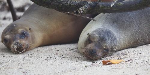 """Un número preocupante grande de lobos marinos deshidratados y demacrado están lavando a tierra central y la costa del sur de California de Santa Bárbara a San Diego.  Cientos de estos lobos marinos enfermos han sido admitidos en los centros de rescate hasta el momento y los grupos de rescate reportan alza sustancial en el número de estos lobos marinos desnutridos desde enero en comparación con años anteriores contar durante ese mismo período.  Sharon Melin, un biólogo de vida silvestre con el Servicio Nacional de Pesca dijo a Wired, """"Estamos en el proceso de tratar de entender lo que realmente está causando esto.  Los centros de varamientos en el sur de California están siendo inundados con los animales.  No tiene ..."""