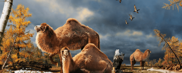 Canadian research team, helped by scientists at The University of Manchester, discovered the first evidence of an extinct giant camel in the High Arctic. The 3,5 million year old fossil was identified using new collagen fingerprinting from bone fragments unearthed on Canada's High Arctic Ellesmere Island. It's the furthest North a camel has ever been found. The fossils were collected during summers of 2006, 2008 and 2010 by Dr. Natalia Rybczynski, a vertebrate paleontologist with the Canadian Museum of Nature.   The camel bone fragments were collected from a steep slope at the Fyles Leaf Bed site, a sandy deposit near...