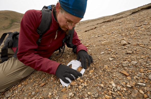 Dr. Natalia Rybczynski, paleobiologist at the Canadian Museum of Nature collects a fossil bone at the Fyles Leaf Bed site on Ellesmere Island in 2008. The fossil in situ looks very similar to wood. She uses toilet paper to wrap the fossil for transport to the base camp. CREDIT: Martin Lipman, Canadian Museum of Nature.