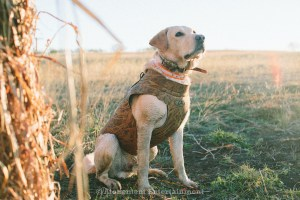 Early Teal Season Hunting Dog