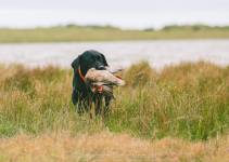 Banded Green Winged Teal Retrieve