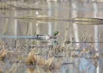 kansas duck hunting