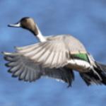 arkansas duck hunting guides
