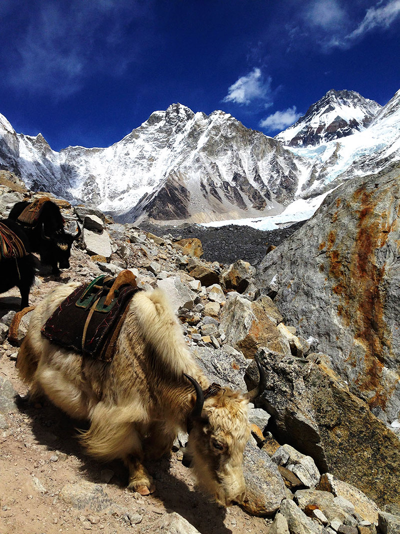 yak train everest base camp trek himalayas nepal