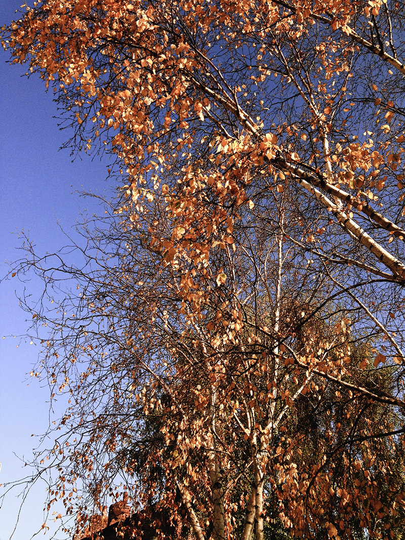tree-tops-golden-leaves