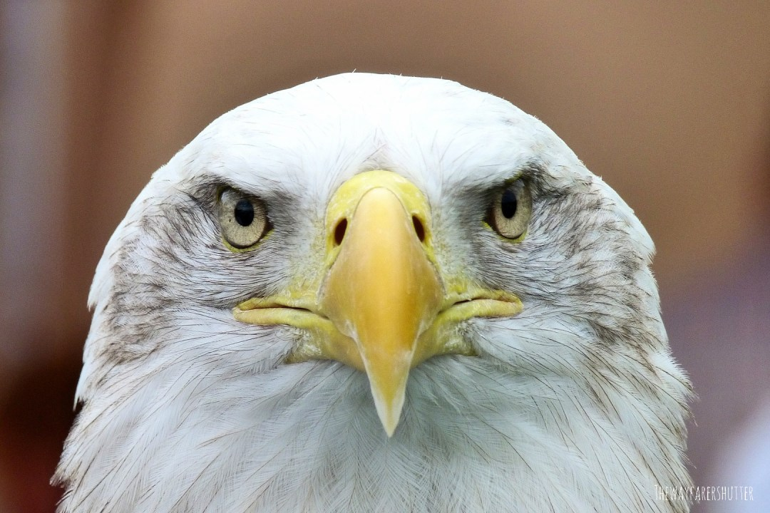 bald_eagle-national_bird_USA-symbolism_strength_power_majesty-alaska-skagit_eagles-photography-thewayfarershutter (20).jpg