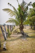 Palm tress and hand-hewn fence posts near a rest stop outside Phnom Penh. Cambodia, March 2014.