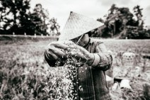 During the twice annual rice harvest, a necessary step is separating the rice grains from the chaff. Bali, Indonesia, June 2014.