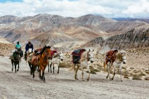 Porter horses bedecked in the colorful Tibetan style trek through the Upper Mustang landscape. Nepal, July 2014.