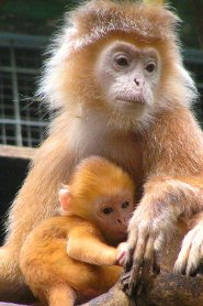 Javan Langur The Monkey With A Mane Pictures And Facts