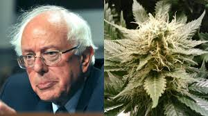 Bernie Sanders Calls The DEA Decision on Marijuana 'Absurd'