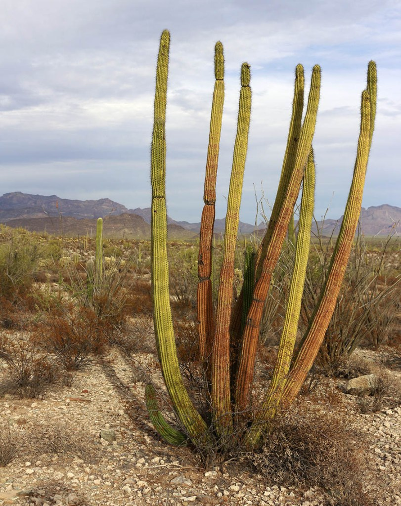 Guide to Organ Pipe Cactus National Monument: hiking, camping, hotels nearby