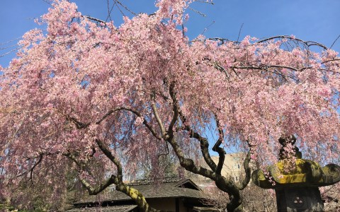 gorgeous cherry blossom trees at brooklyn botanic garden