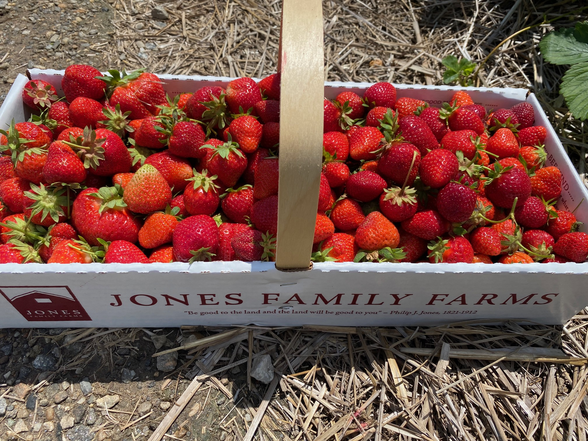 Strawberry Picking at Jones Farm: What You Need to Know