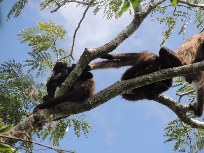Monkeys at Punta Laguna Nature Reserve in Tulum, Mexico | TheWeekendJetsetter.com