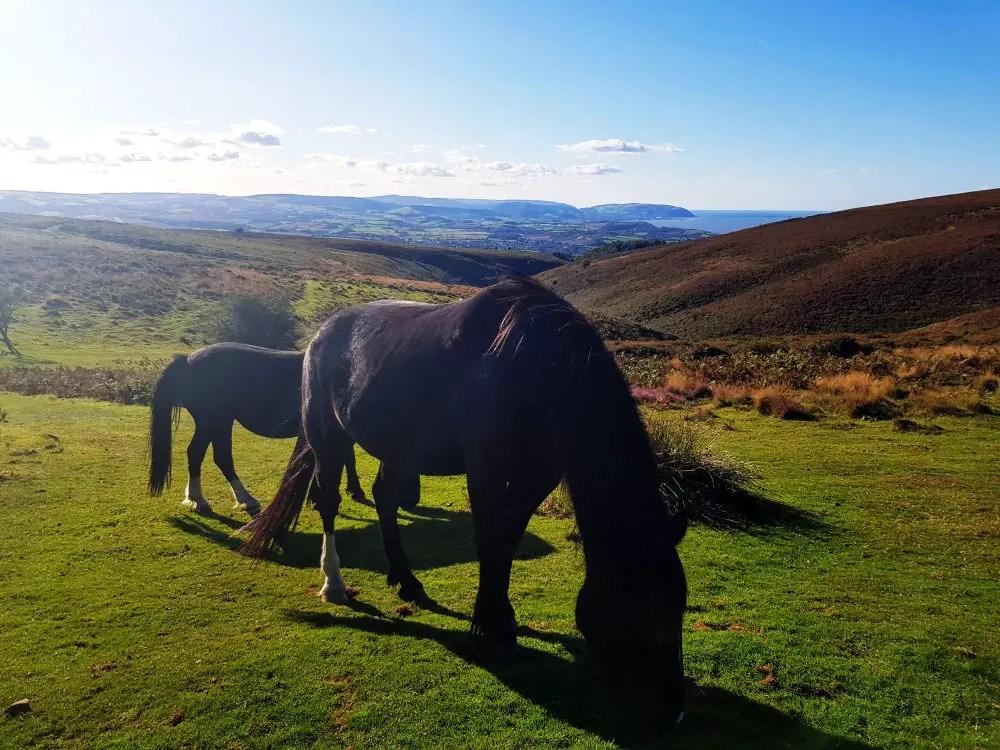 Quantock-ian Ponies