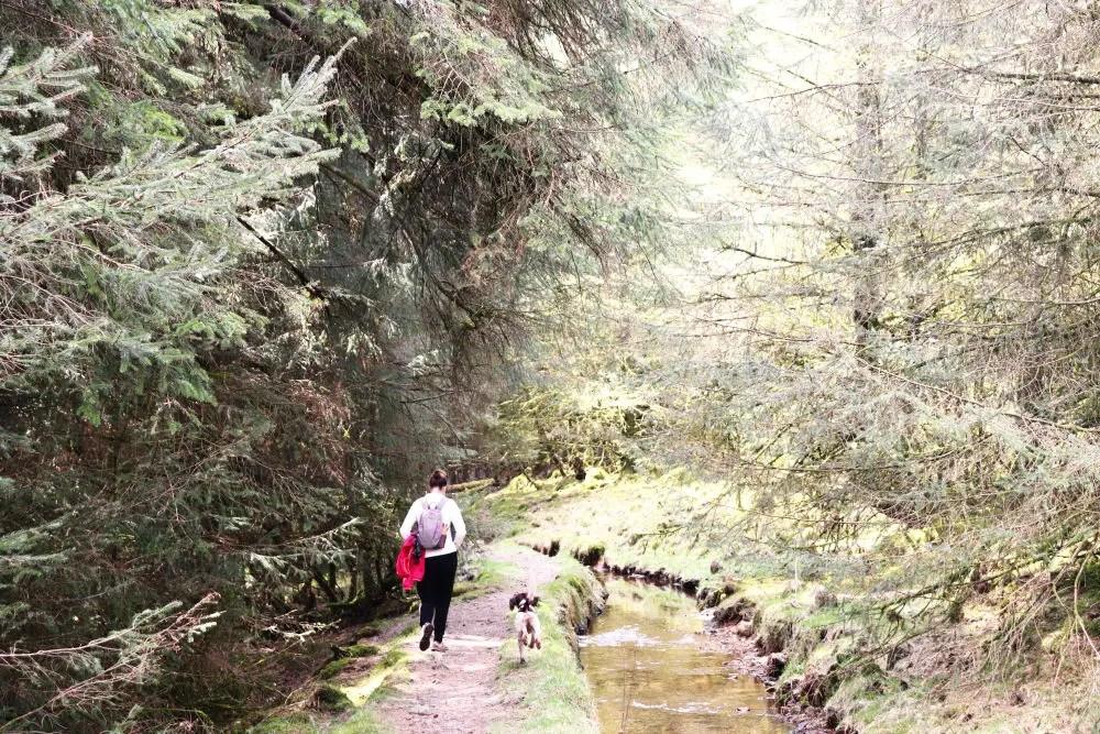 Pine Forest on Dartmoor