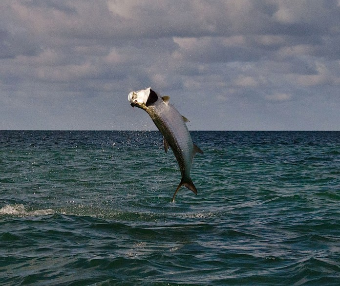A hooked tarpon, right, makes a gill-rattling leap.