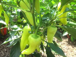 Sweet Banana Peppers HEIRLOOM