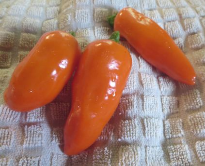 Tangerine Dream Sweet Pepper