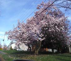 Tree Destroyed by Verizon