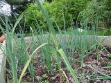 Onions & Some Garlic