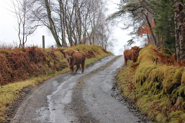 Highland cows, Isle of Mull