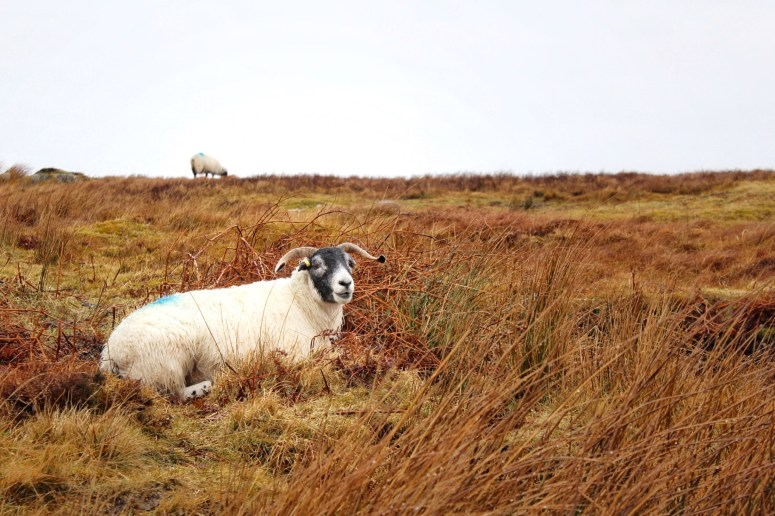 Sheep, Isle of Mull