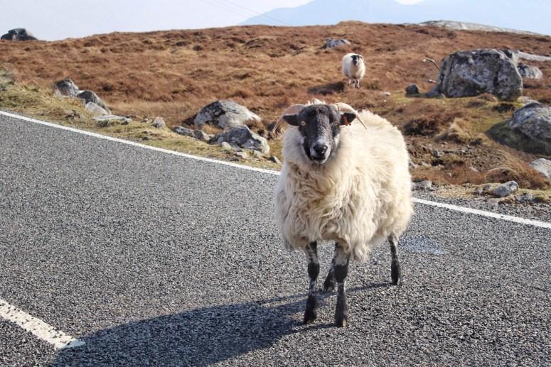 Sheep, Isle of Lewis