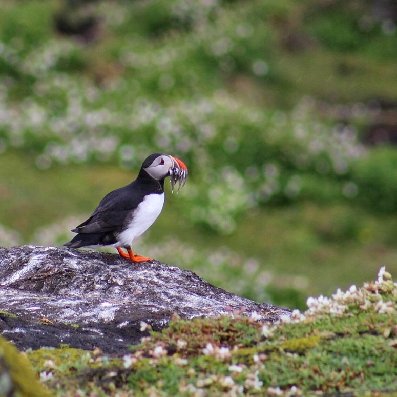 Isle of May puffin