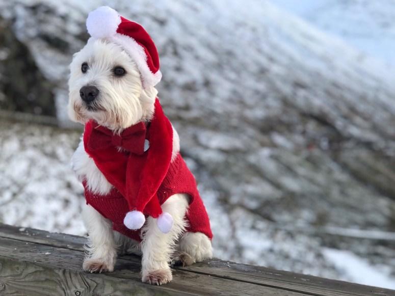 Christmas Westie