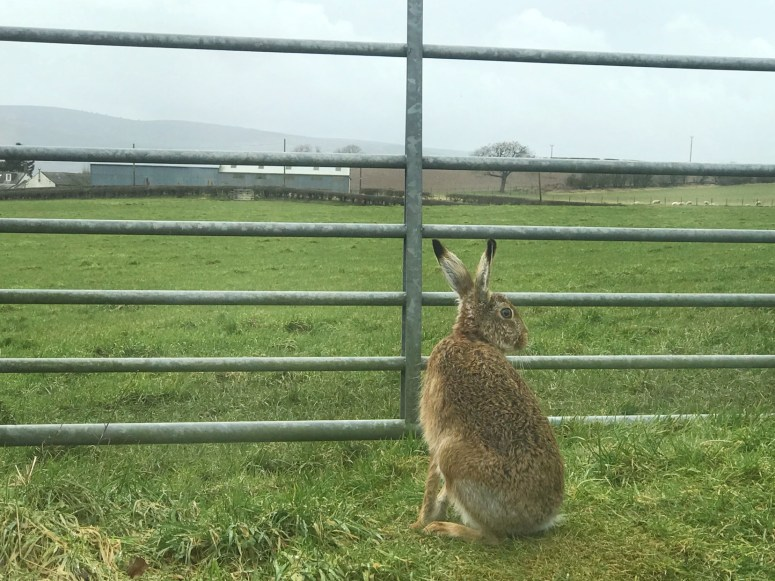 Hare, Dumfries and Galloway