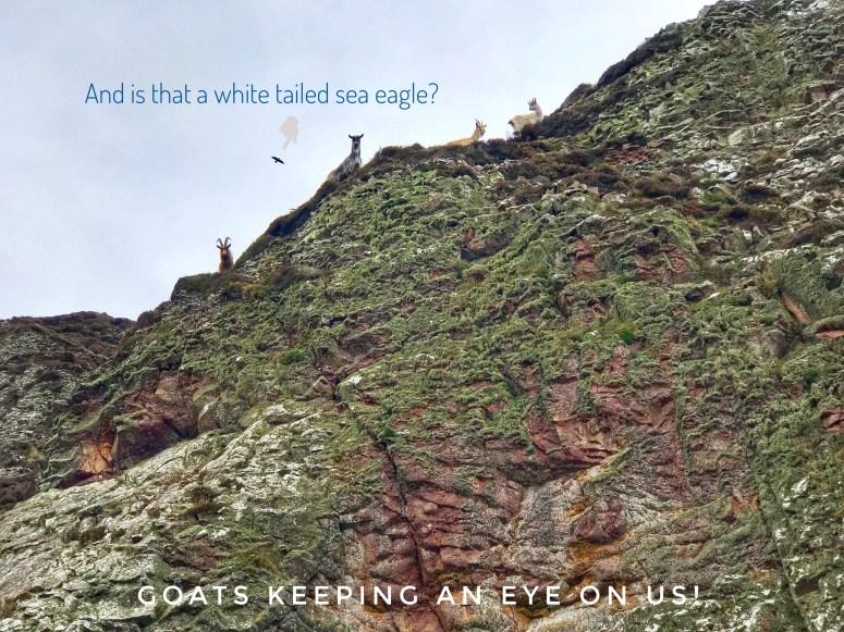 Wild goats, Davaar Island