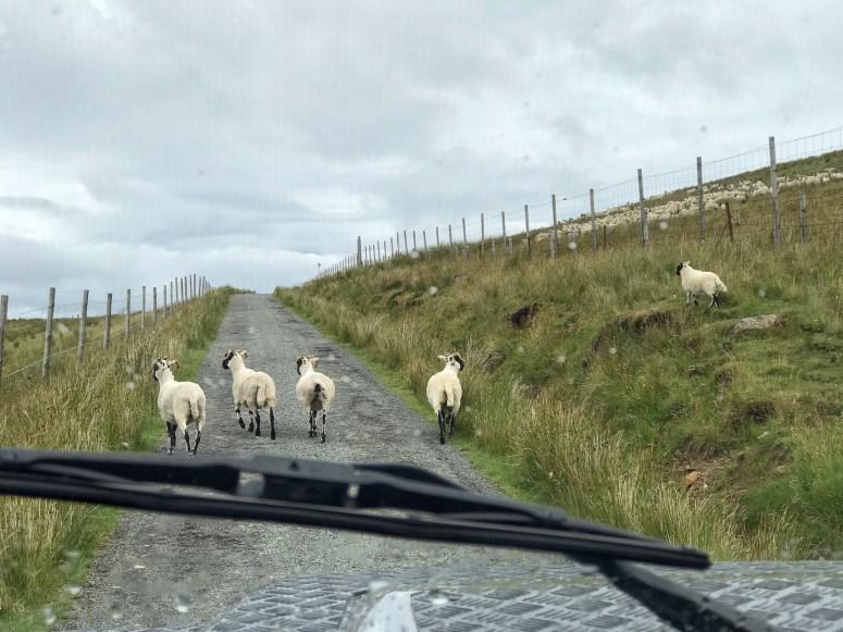 Sheep, Isle of Raasay