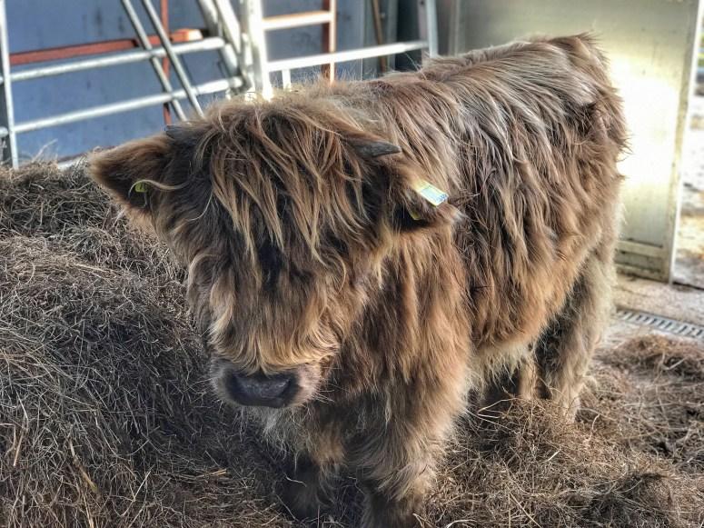 Aikenshill House, Highland Cows