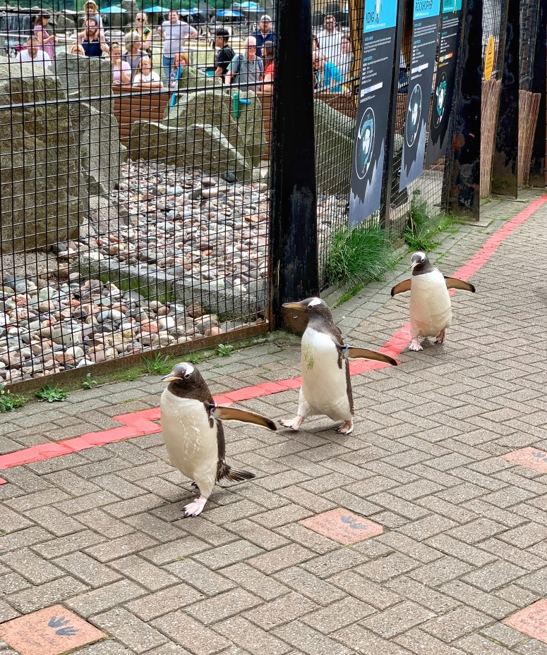 Penguin parade, Edinburgh Zoo
