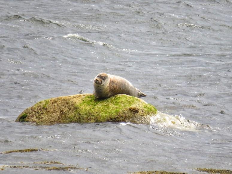 Seal, Isle of Arran