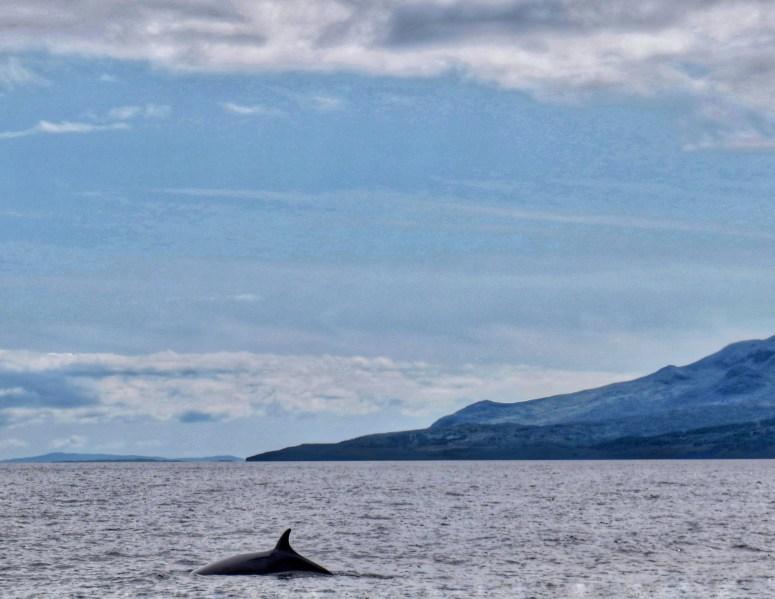 Minke whale Small Isles