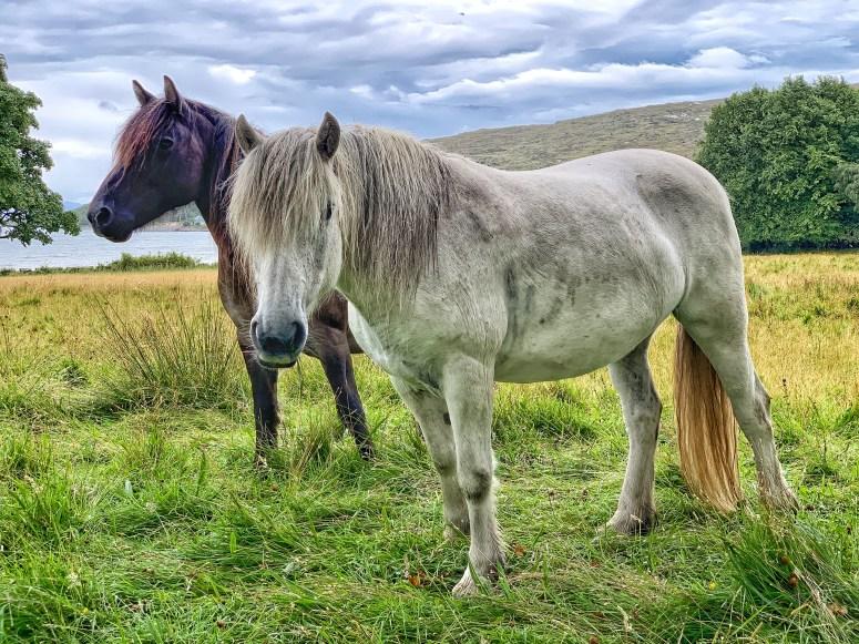 Rum Ponies, Isle of Rum