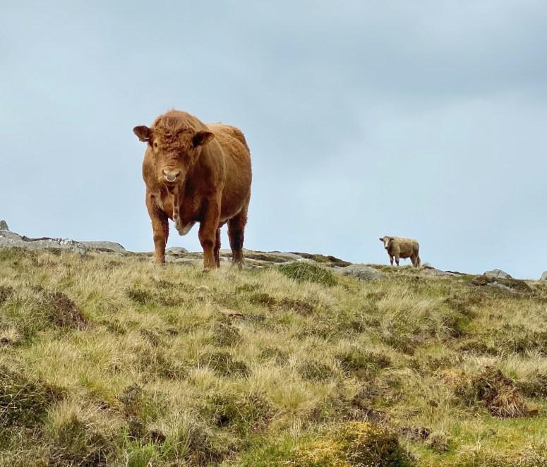 Bull, Ben Hogh