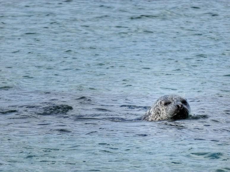 Seal, Isle of Coll