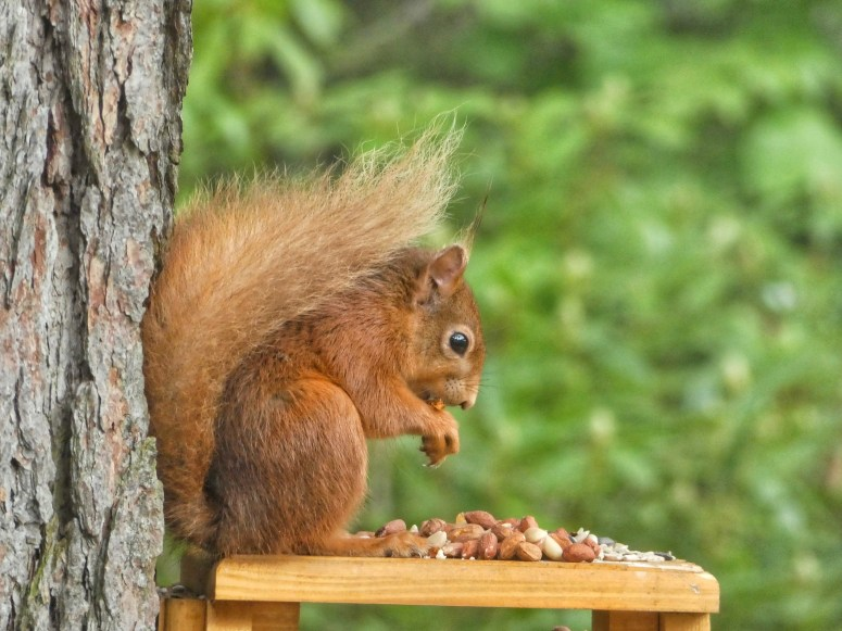 Red squirrel, Foyers. Visit south Loch Ness